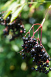 fresh-and-ripe-elderberry