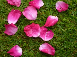rose petals at Castle Howard