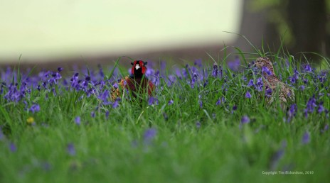 Pheasants in the grounds at Rudding Park