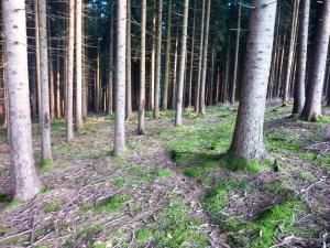 Bavarian Pine Woods