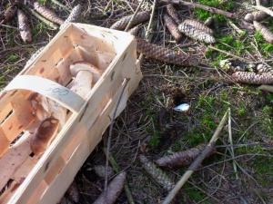 Cep Mushrooms in Basket