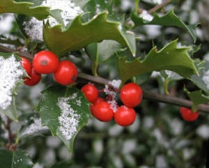 Foraging for holly with the Moon family!