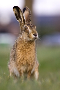 Great shot of a hare!