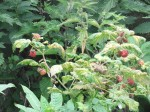 Raspberrys growing at Rudding Park