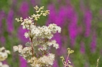 Meadowsweet in all its glory!