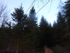 Fir, Fir, Fir Fantastic...A group of Fir trees