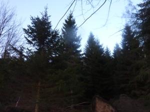 Fir, Fir, Fir Fantastic...A group of Fir trees