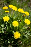 The flavoursome and versatile dandelion!