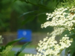 Elderflower in all its glory
