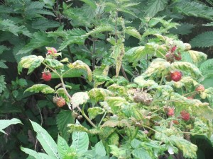 Wild raspberry picking but watch out for those nettles!