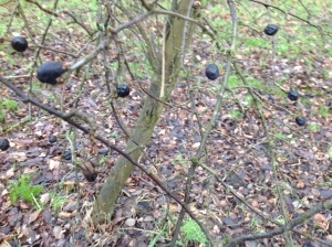 Sloes hanging on for dear life!